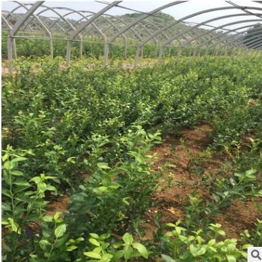 北方直销 薄雾蓝莓苗 品种纯 7年蓝莓苗大苗 带钵发货的蓝莓