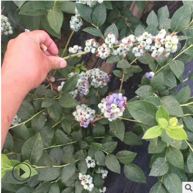 当年结果蓝莓苗 现货批发蓝丰蓝莓苗 优质蓝莓苗价格优惠产量高