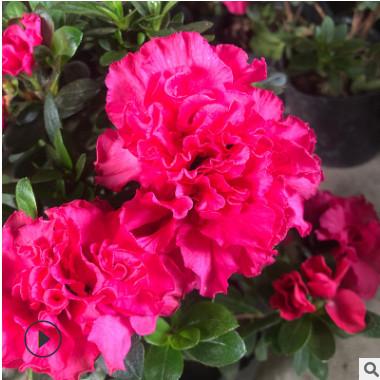 杜鹃花盆栽植物 室内带花好养的花常年四季开花不断花卉观花植物
