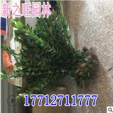 冬青基地直销灌木冬青庭院大叶黄杨球道路园林绿化工程冬青北海道