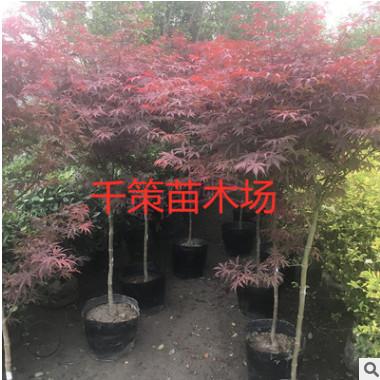 美国红枫树苗庭院绿化风景树日本红枫绿化苗木工程用苗规格齐全