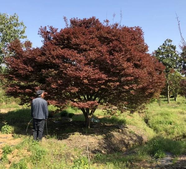 T428号红枫22公分,分枝点48公分,高5米,蓬6.5米,唯一编号