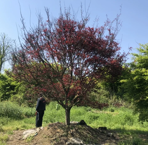 T402号红枫18公分,分枝点65公分,高4.5米,蓬4米。唯一编号
