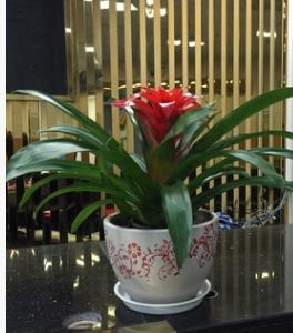 批发盆栽观花植物 红掌 绿色植物 小盆栽 四季开花 物美价廉