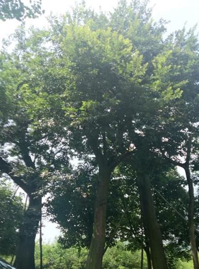朴树 胸径38公分,分枝点2米8