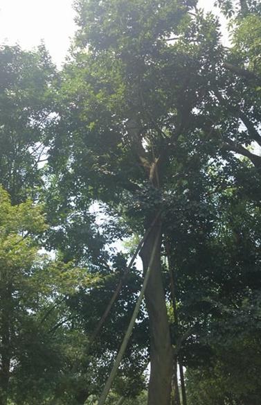 朴树 胸径28公分,分枝点2米3