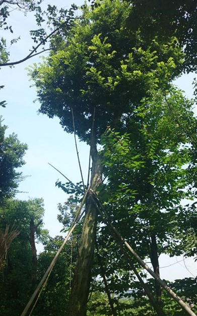 朴树 胸径40公分 分枝点4.2米