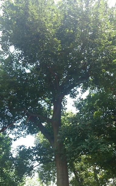 朴树 胸径36公分,分枝点2米3