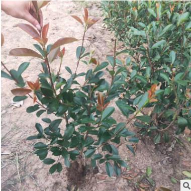 基地供应红叶石楠树 工程绿化苗木大量批发 红叶石楠树苗