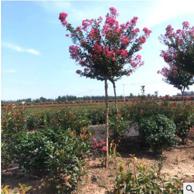 苗圃供应 红叶石楠 工程绿化石楠树 规格齐全 高杆红叶石楠树