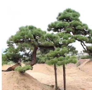 山东松树基地常年出售造型景松迎客松松树 多种造型可选量大从优