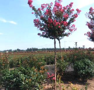 基地发货红叶石楠 行道树 园林绿化工程 保湿发货红叶石楠树苗
