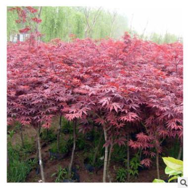 红枫树苗基地直销绿化苗木庭院小区日本美国红枫树苗批发绿化工程