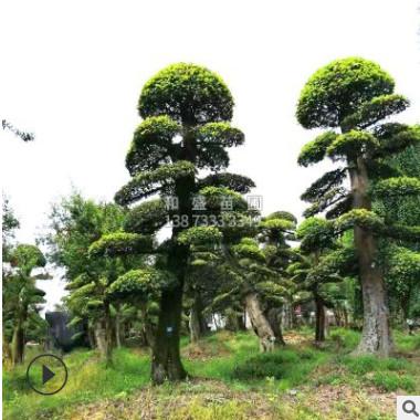 供造型榆树公园景观造型榔榆 金叶榆树 别墅绿化榆树桩榔榆桩