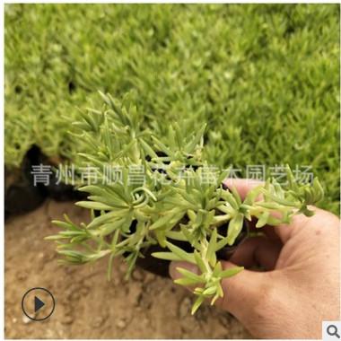 铁指甲地被植物绿叶佛甲草屋顶绿化植被 楼顶绿化佛指草青叶基地