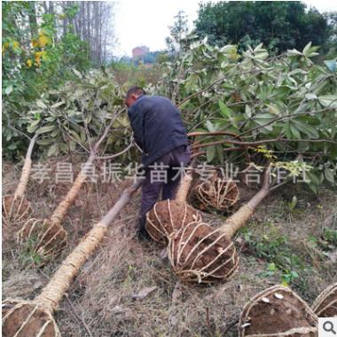 批发园林绿化果树 乔木枇杷 实生枇杷树 大乔木 四季常绿