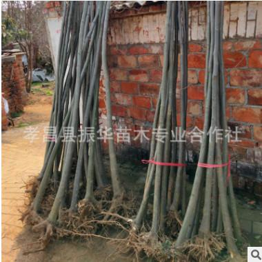 基地供应优质栾树苗,河南栾树价格 落叶乔木 生长快经济价值高