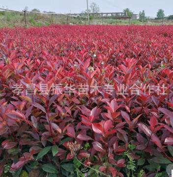 销售园林绿化红叶石楠,高杆石楠,春秋变红,成活率高,易修剪