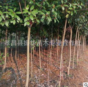 红叶石楠桩 高杆红叶石楠 红叶石楠小苗 规格齐全 量大从优