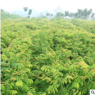 常绿乔木栾树小苗 品种齐全重庆园林风景防护树木 绿化工程栾树苗