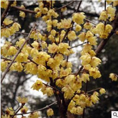 庭院观花植物腊梅 绿化园林小区腊梅小树苗 红梅绿梅黄梅花苗种子