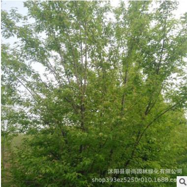 丛生茶条槭 苦茶槭 变色树种 耐寒 耐旱 极具观赏价值 园林绿化