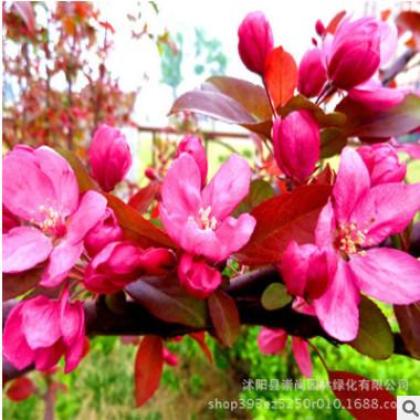 基地直销 红宝石海棠 红叶海棠 高档花灌木 绿化苗木 规格齐全