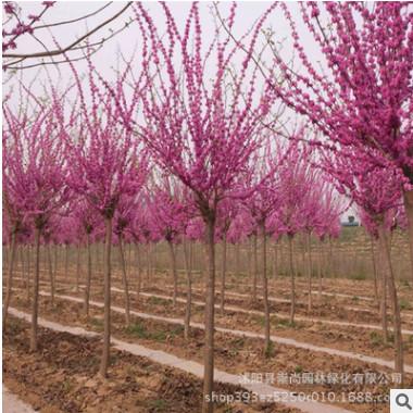 苗圃直销 巨紫荆 景观行道树 规格齐全 园林绿化工程 花色鲜艳