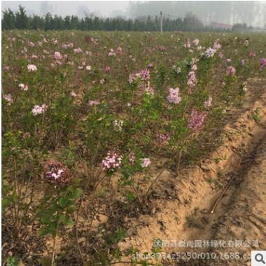 紫丁香 丛生紫丁香 耐旱耐寒 园林绿化 质优 量大价美 苗圃直销