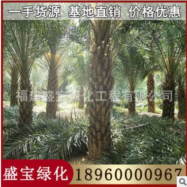 漳州中东海枣基地 银海枣 各种规格供应 欢迎咨询