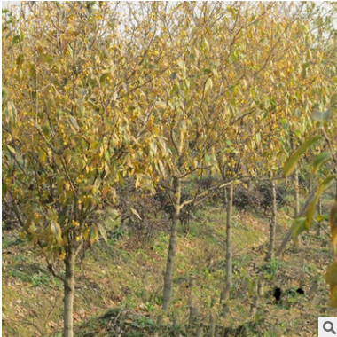 腊梅 丛生腊梅苗 耐寒腊梅树苗 园艺观花植物 价格低 规格齐全