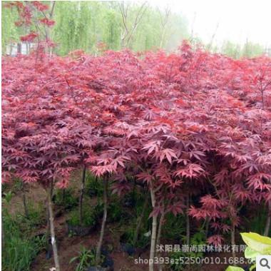 日本红枫 三季红 彩叶苗木 园林新品 绿化工程 规格齐全 量大优惠