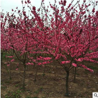 红叶碧桃 紫叶桃 美丽大红花 园林绿化工程 规格齐全 量大价优惠