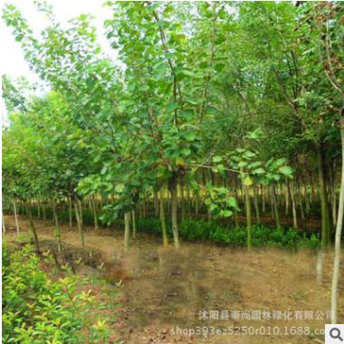 供应各种绿化工程苗木 行道树直销优质乌桕苗 规格齐全速生易成活