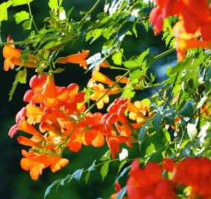 基地批发攀援植物凌霄 凌霄苗圃提供 炮仗花庭院布置 净化空气