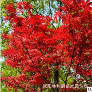 基地直供 日本红枫美国红枫 红枫树苗盆栽 四季红红枫 价格合理