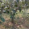 12公分苹果树基地批发 山东苹果树苗多少钱一棵