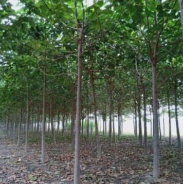 5公分泡桐树
