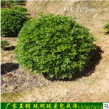 基地直销绿化苗木常绿灌木海桐苗 海桐球 时间常青量大优惠