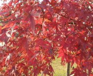 厂家直销彩色树红枫 庭院别墅栽培景观树红枫树苗量大优惠