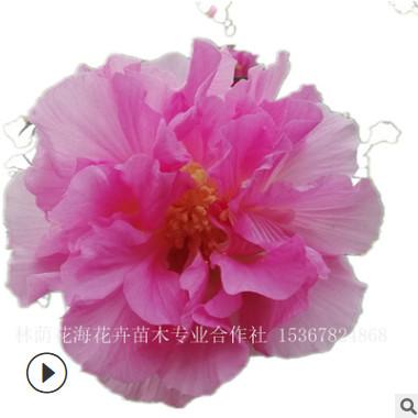 苗圃直销花卉植物花灌木丛生重瓣木芙蓉 花卉植物木芙蓉树