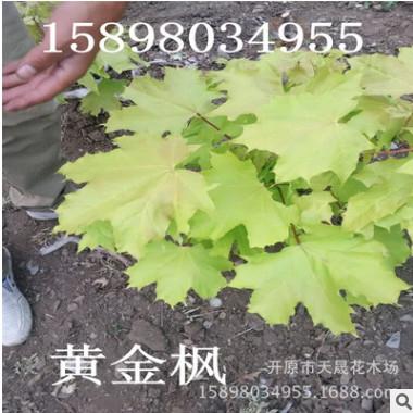 大量供应丛生形黄金枫 园林灌木植物彩叶树种 东北耐寒树种批发