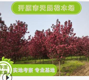 大量供应观花海棠 红色龙枝形绿化园林用苗 园林灌植物辽宁基地