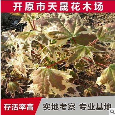 供应丛生形黄金枫 挪威槭夏雪绿化灌木园林植物 红哨兵园艺批发