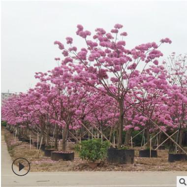 黄花风铃木树苗巴西黄金风铃木苗红花紫花庭院别墅名贵种植行道树