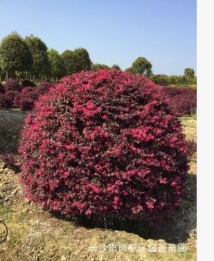 湖南苗木批发 优质红继木球 红继木小杯苗 地苗绿化工程用苗