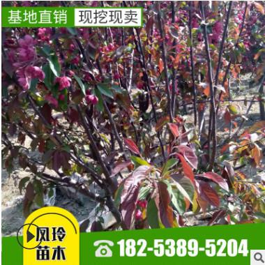 长期种植出售 海棠苗带土球发货易管理价格实惠 海棠苗
