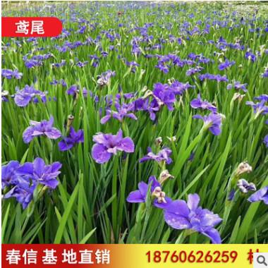 基地直销自产自销鸢尾 水生植物 优雅紫鸢尾观赏植物水生鸢尾植物
