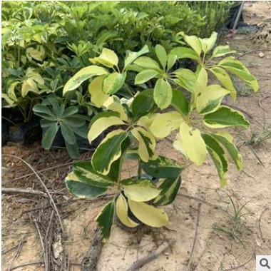基地直销自产自销 澳洲鸭脚木花叶鸭脚木 园林植物苗市政园林工程