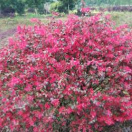 苗圃基地直销优质苗木红继木球 园林绿化观赏植物红继木 价优